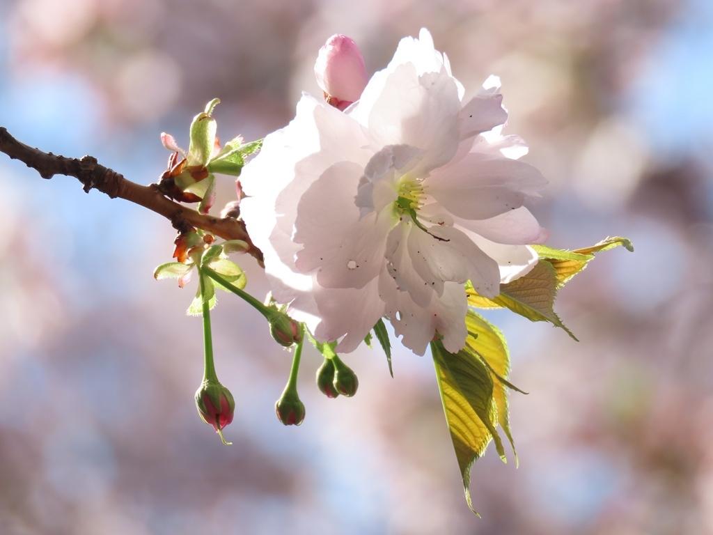 一葉(イチヨウ)という名の桜の花