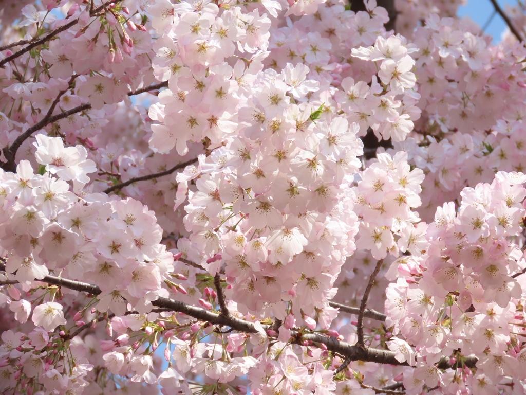 アメリカという名の桜の花