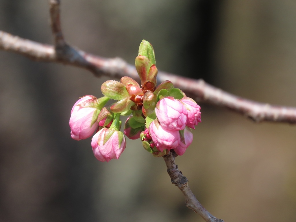 福禄寿(フクロクジュ)という名の桜の蕾