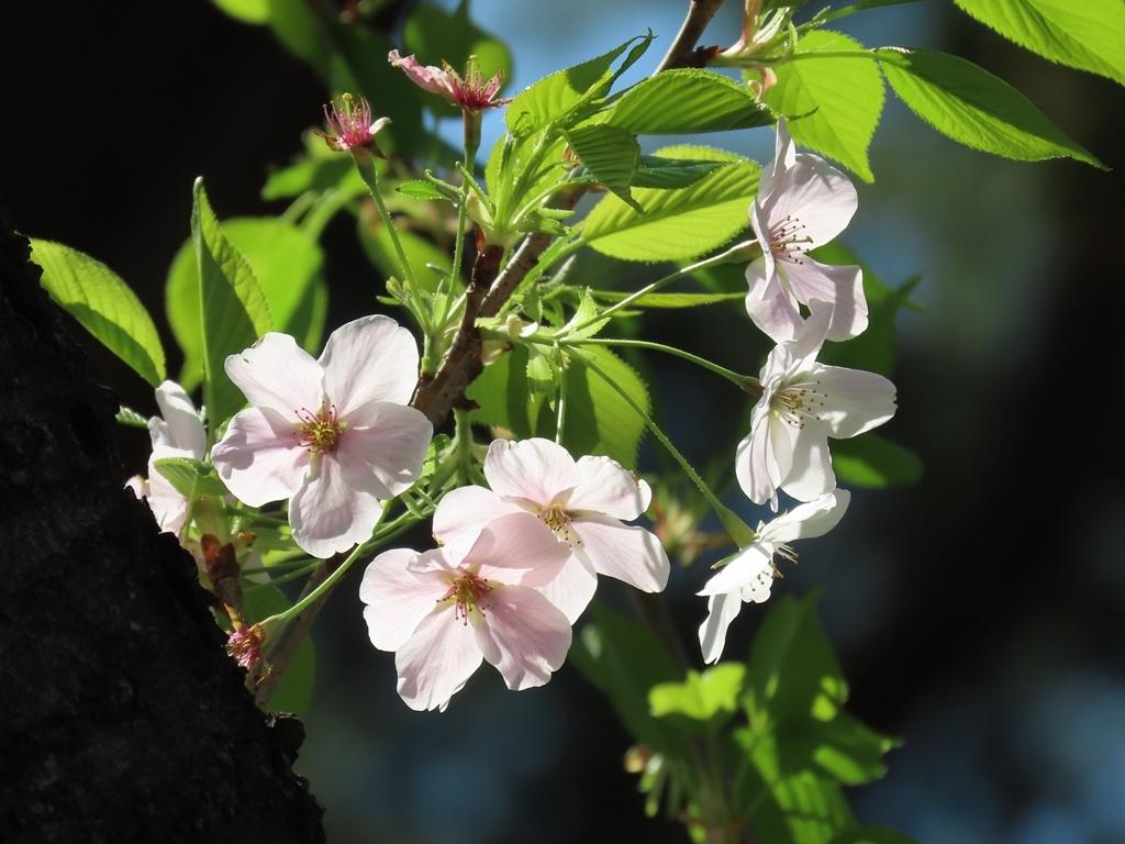 伊豆吉野(イズヨシノ)という名の桜の花