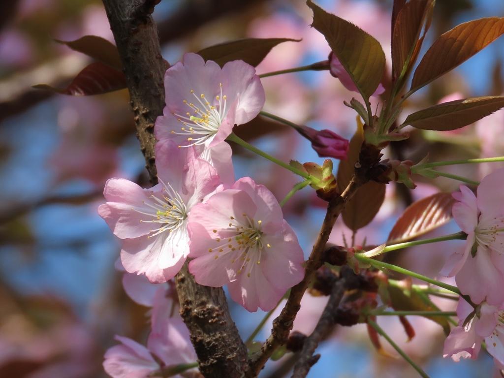 紫桜(ムラサキザクラ)という名の桜の花