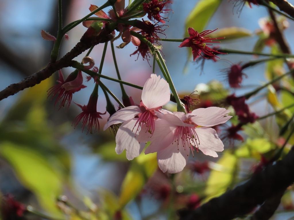 陽光(ヨウコウ)という名の桜の花