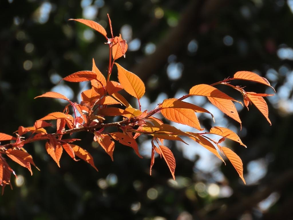 山桜(ヤマザクラ)の赤い若葉