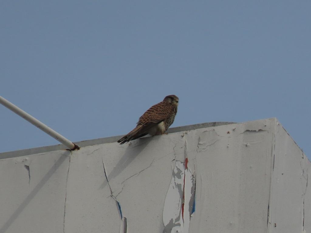 真ん中のビルの屋上にとまる長玄坊(チョウゲンボウ)♀(その3)