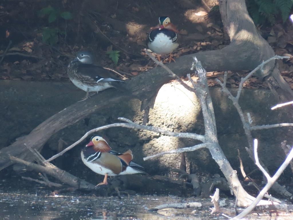 木陰でお休み中の鴛鴦(オシドリ)の群れ