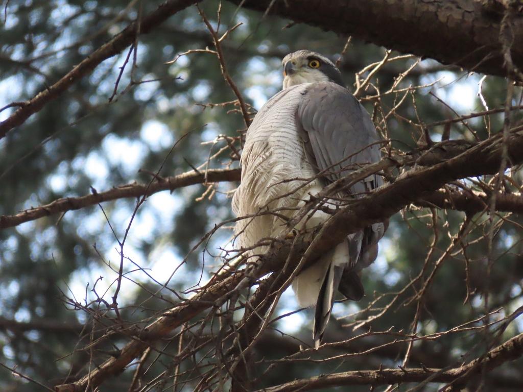 枝にとまって羽繕いしていた大鷹(オオタカ)