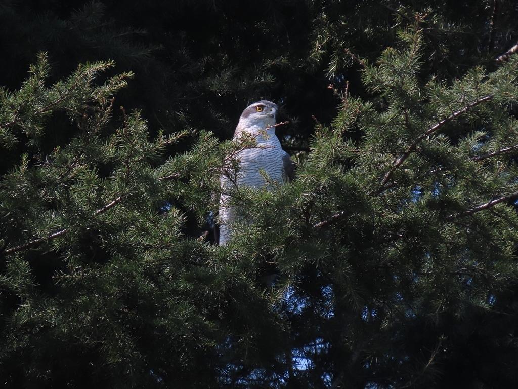 ヒマラヤ杉の上にとまった大鷹(オオタカ)