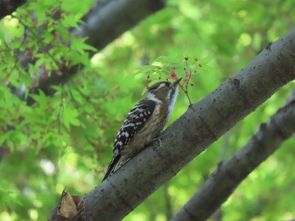 椛(カエデ)にとまる小啄木鳥(コゲラ)