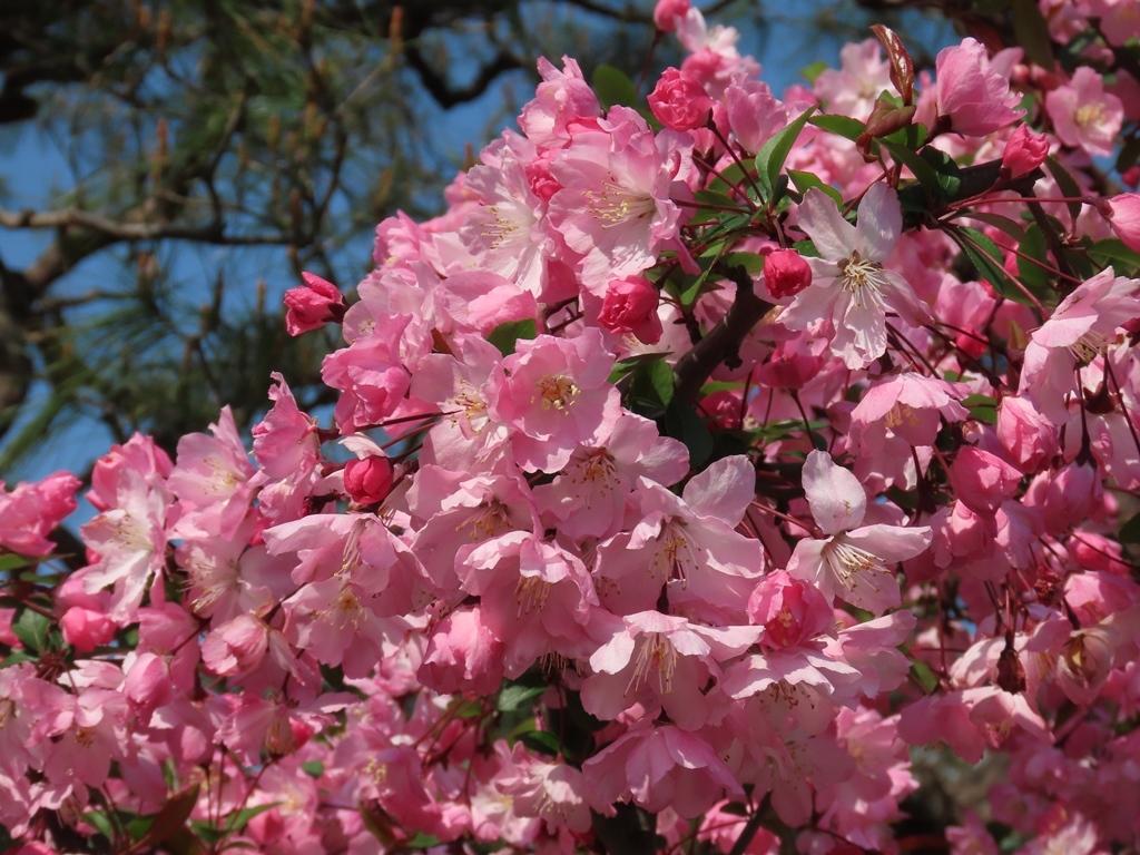 桜に似た花海棠(ハナカイドウ)の花