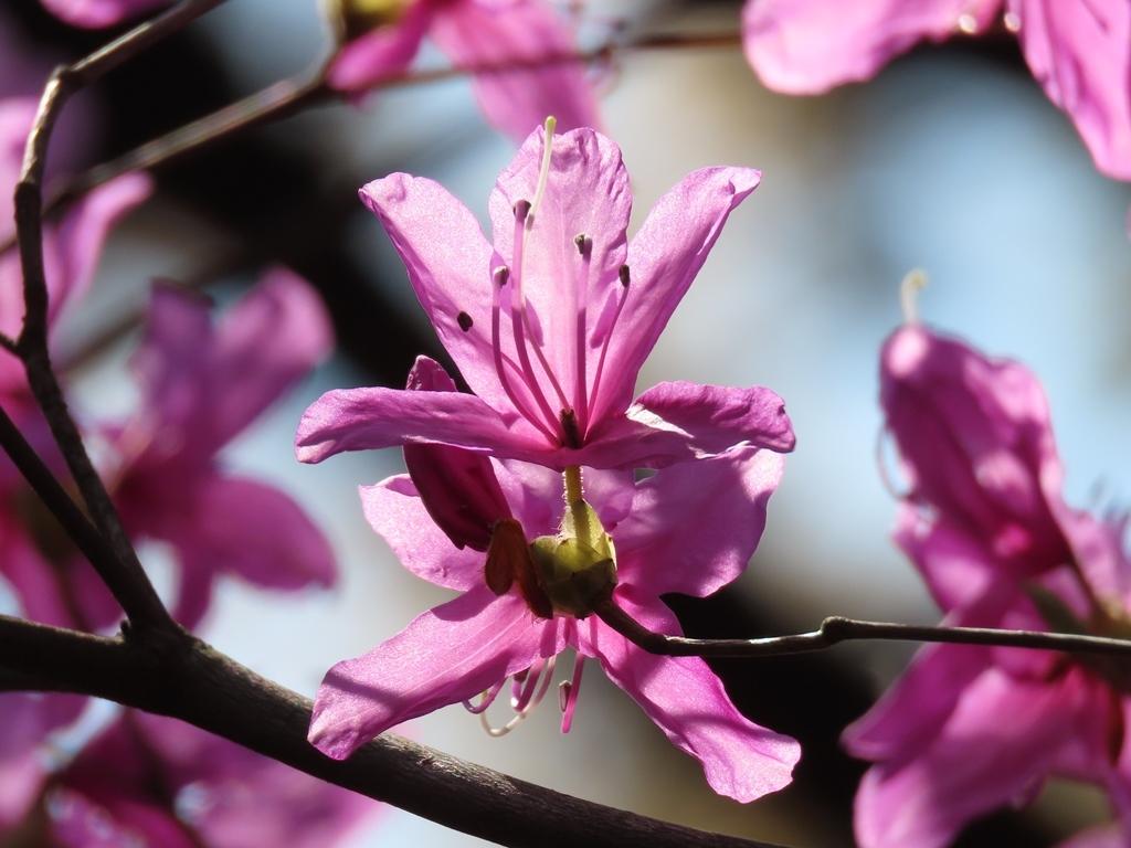 早くも咲いていた三葉躑躅(ミツバツツジ)の花