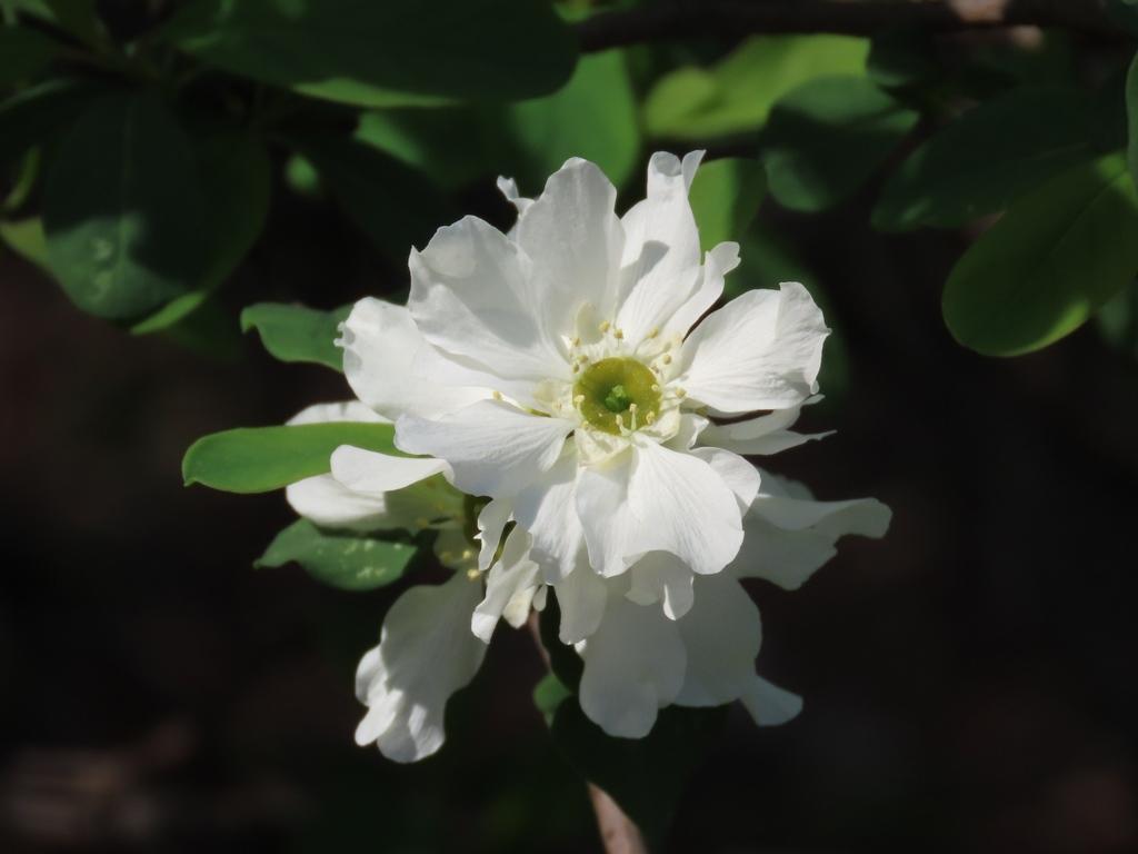 白い清楚な利久梅(リキュウバイ)の花