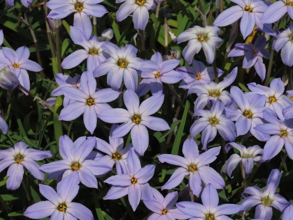 薄紫色の花韮(ハナニラ)の花