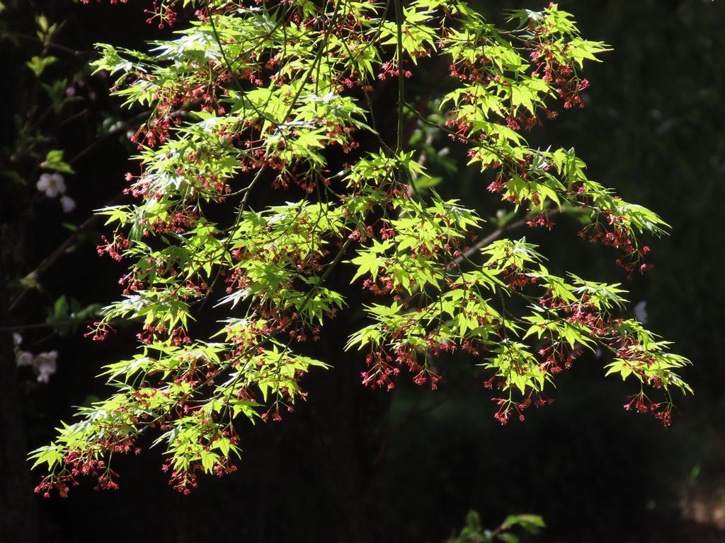 小さな赤い花が咲いた楓(カエデ)