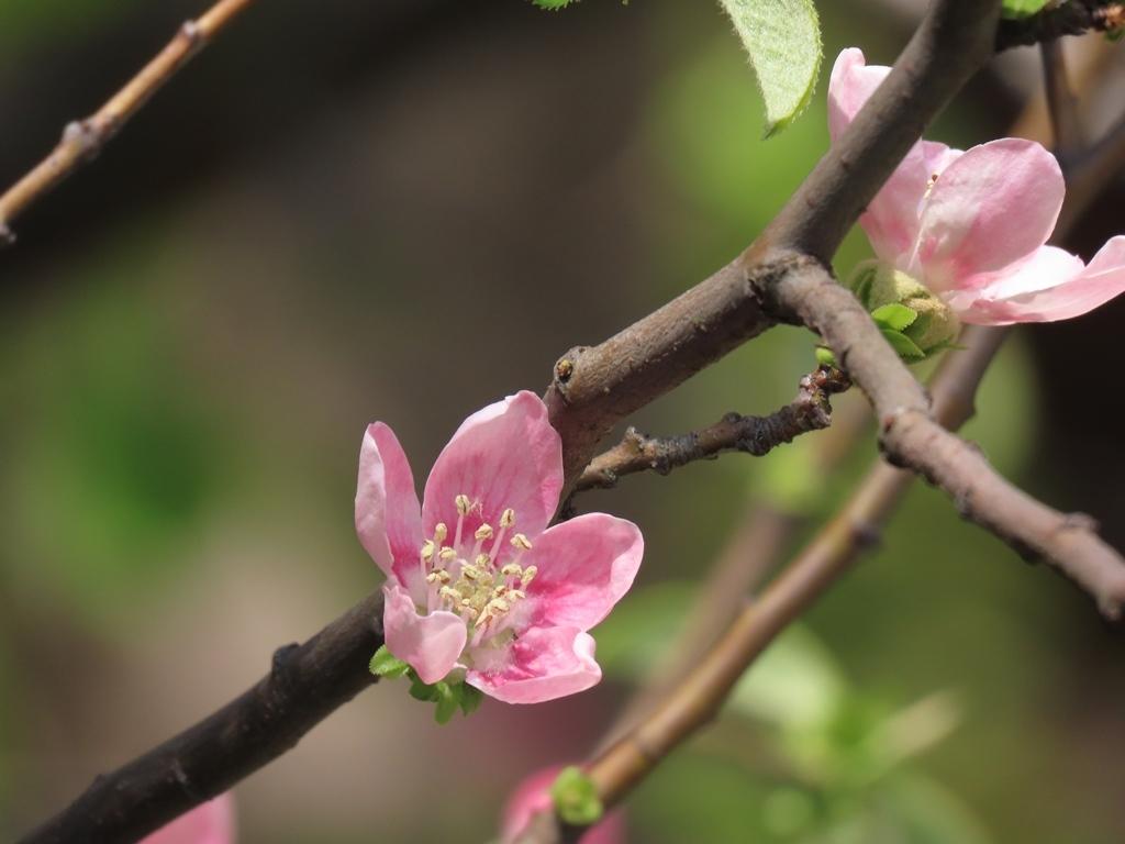 近くに立派な実が落ちていました花梨(カリン)の花