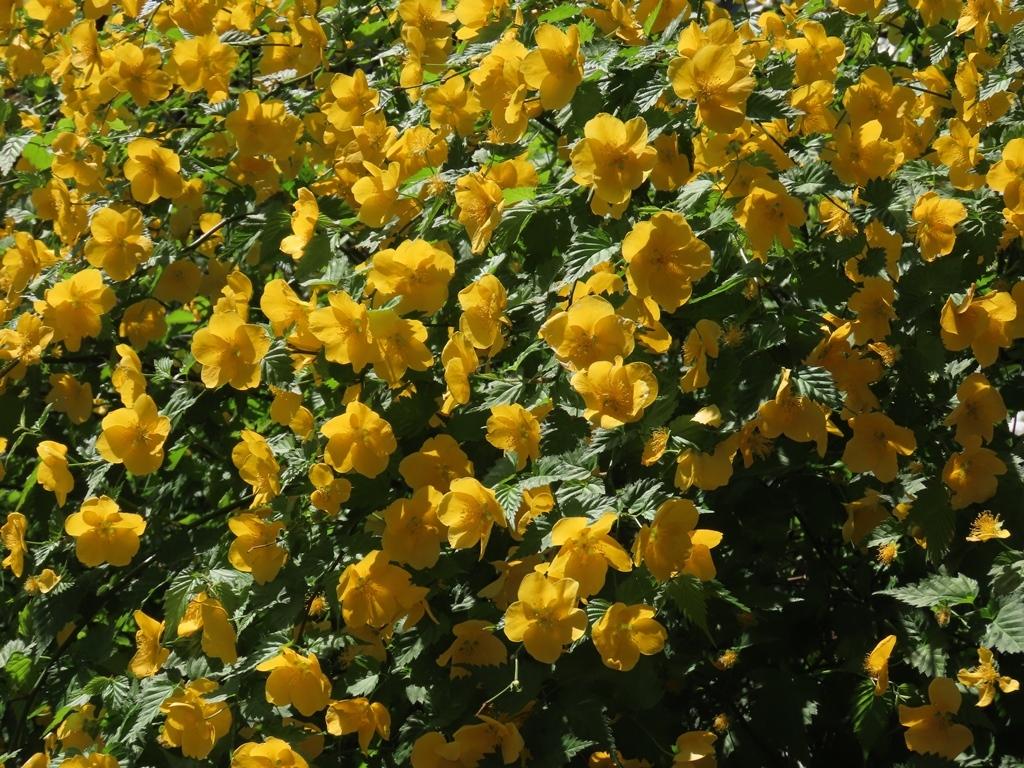 きれいに咲き誇った山吹(ヤマブキ)の花
