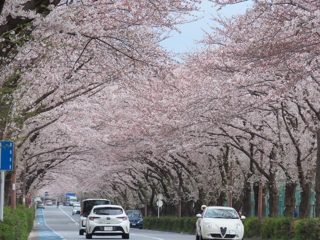 スタジアム通りの桜並木(その2)
