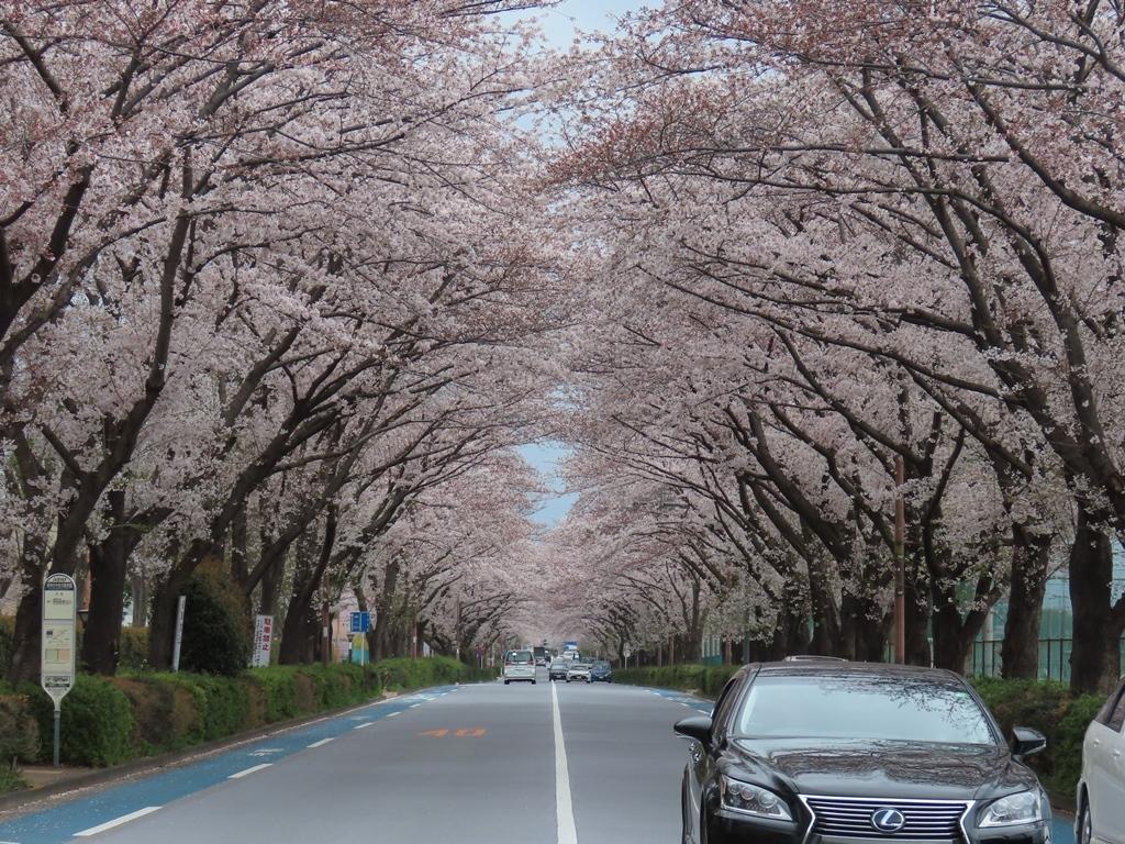 スタジアム通りの桜並木(その3)(