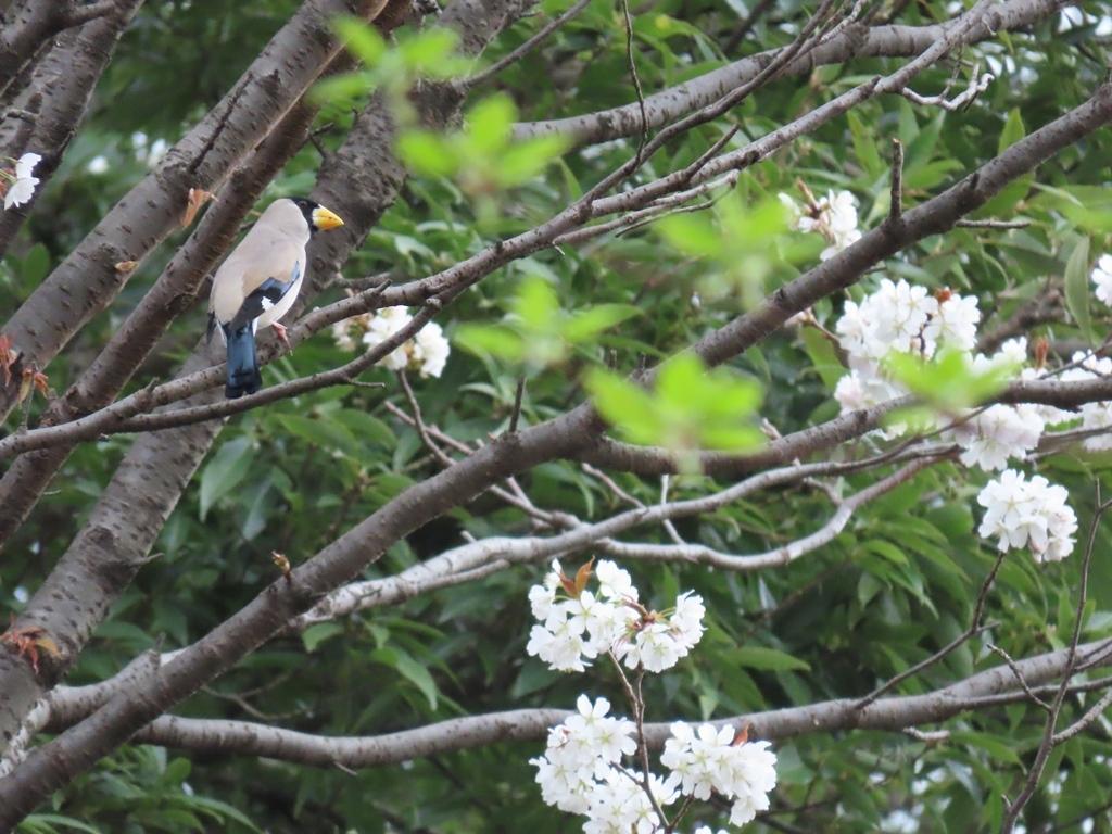 桜の木にとまった鵤(イカル)その1