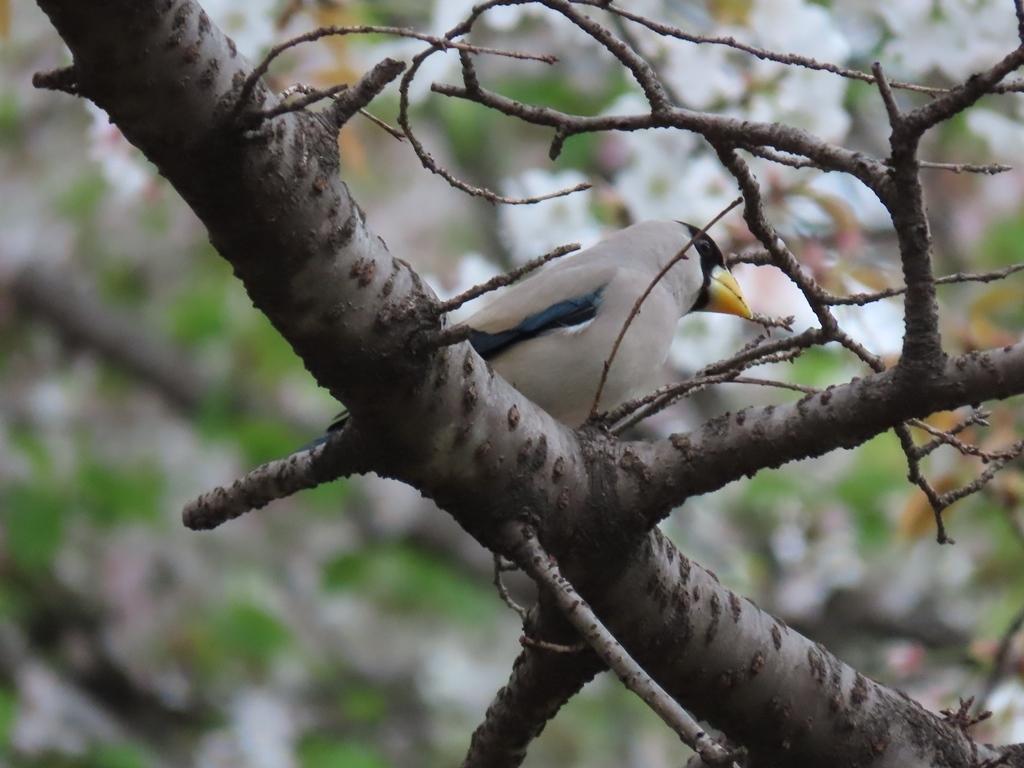 桜の木にとまった鵤(イカル)その2