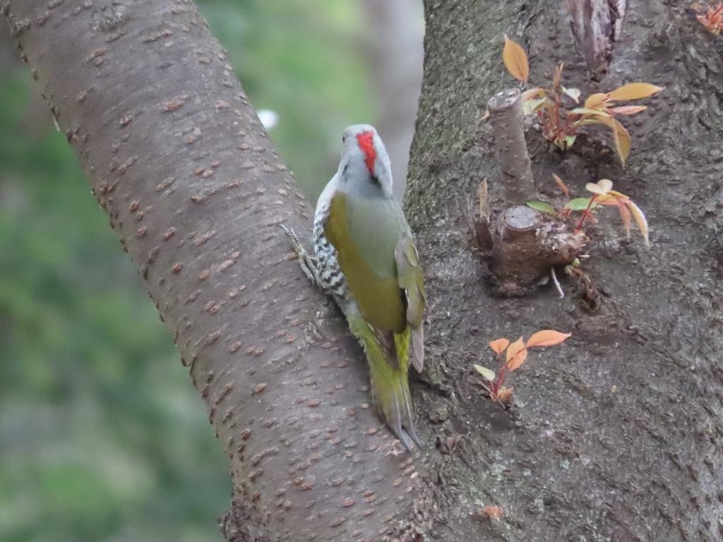 後頭部のみ赤い青啄木鳥(アオゲラ)♀