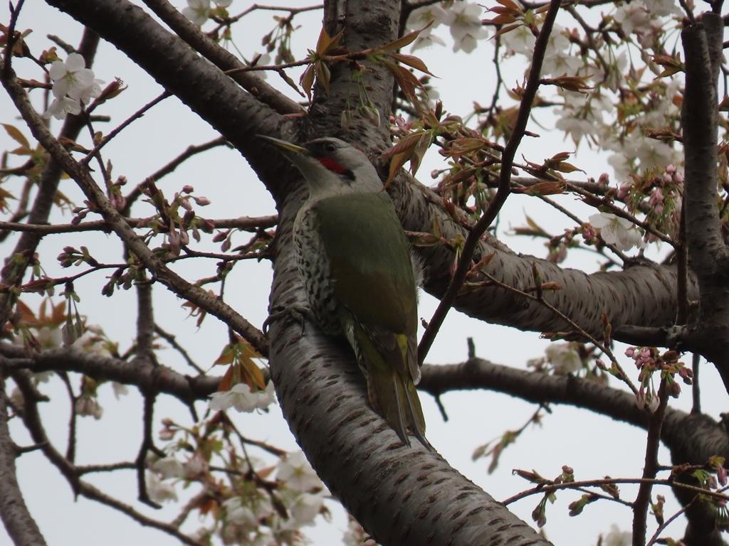 桜の木を登っていく青啄木鳥(アオゲラ)♀