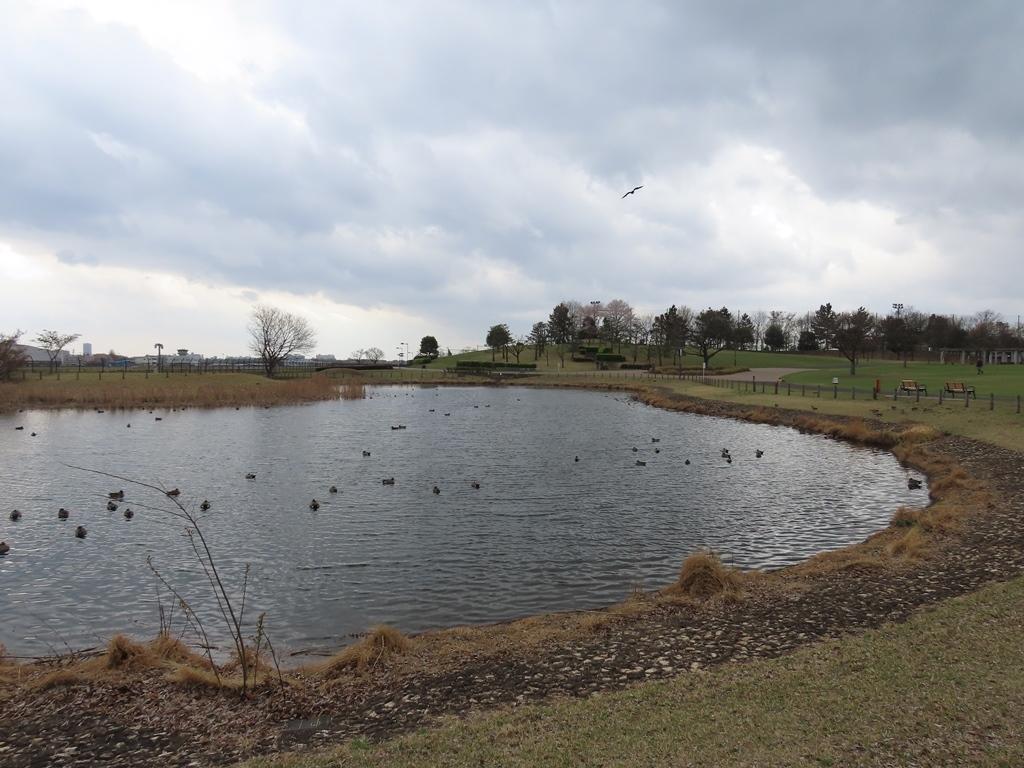 まだ緋鳥鴨(ヒドリガモ)が多く残っていた修景池