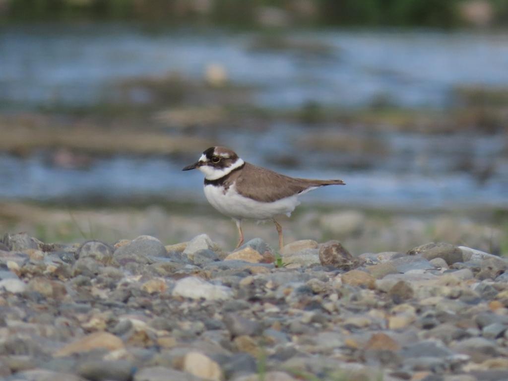 河原の桑鳲千鳥(イカルチドリ)その2