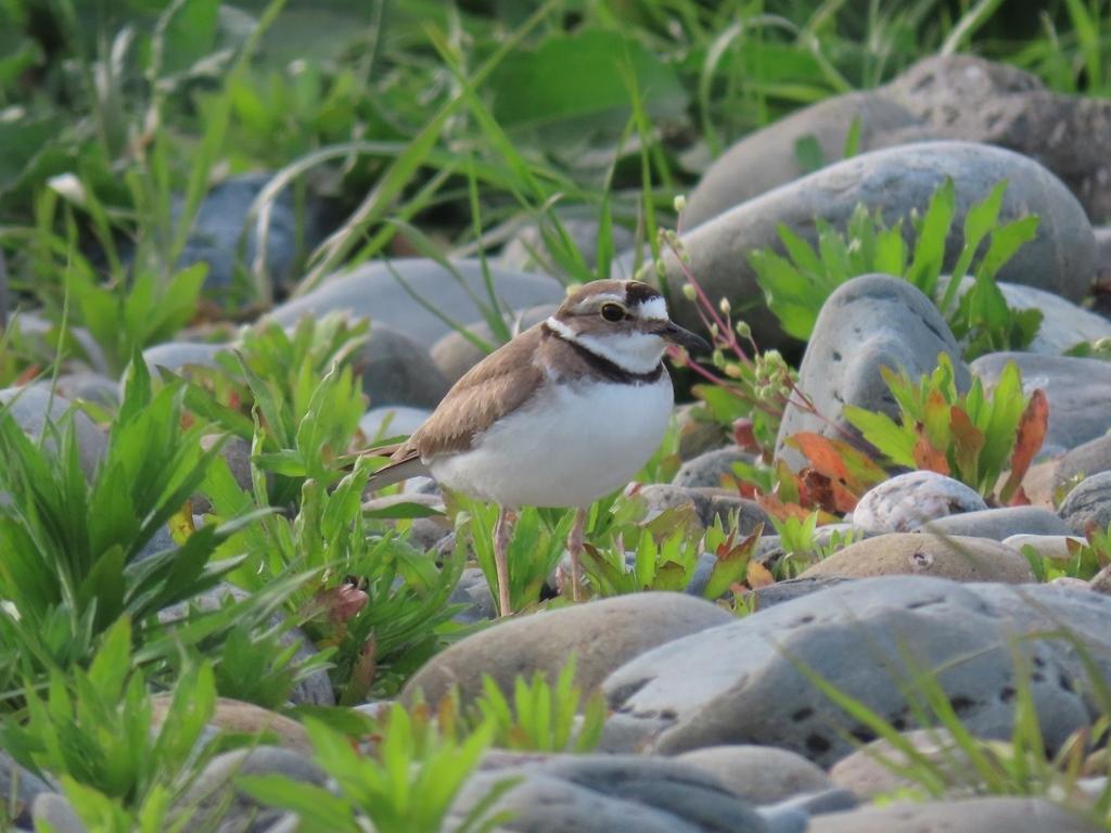 河原の桑鳲千鳥(イカルチドリ)その3