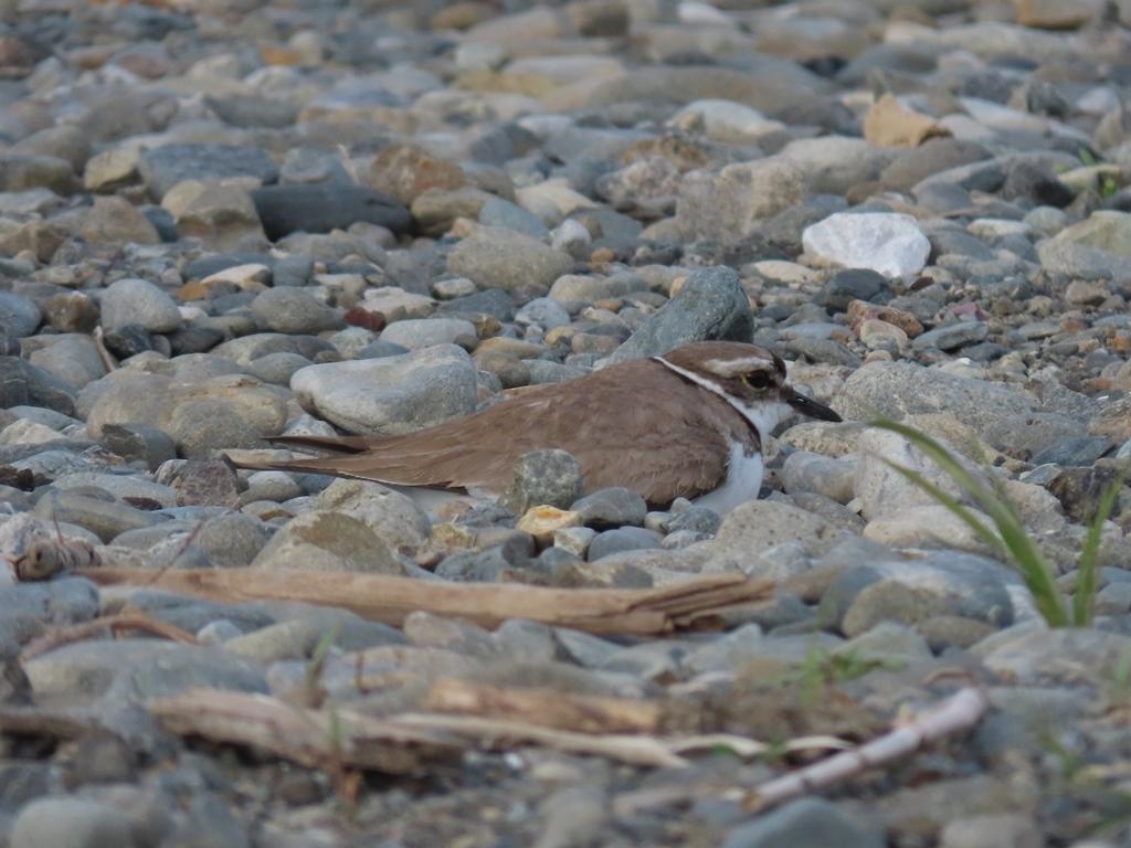 抱卵中の桑鳲千鳥(イカルチドリ)その1