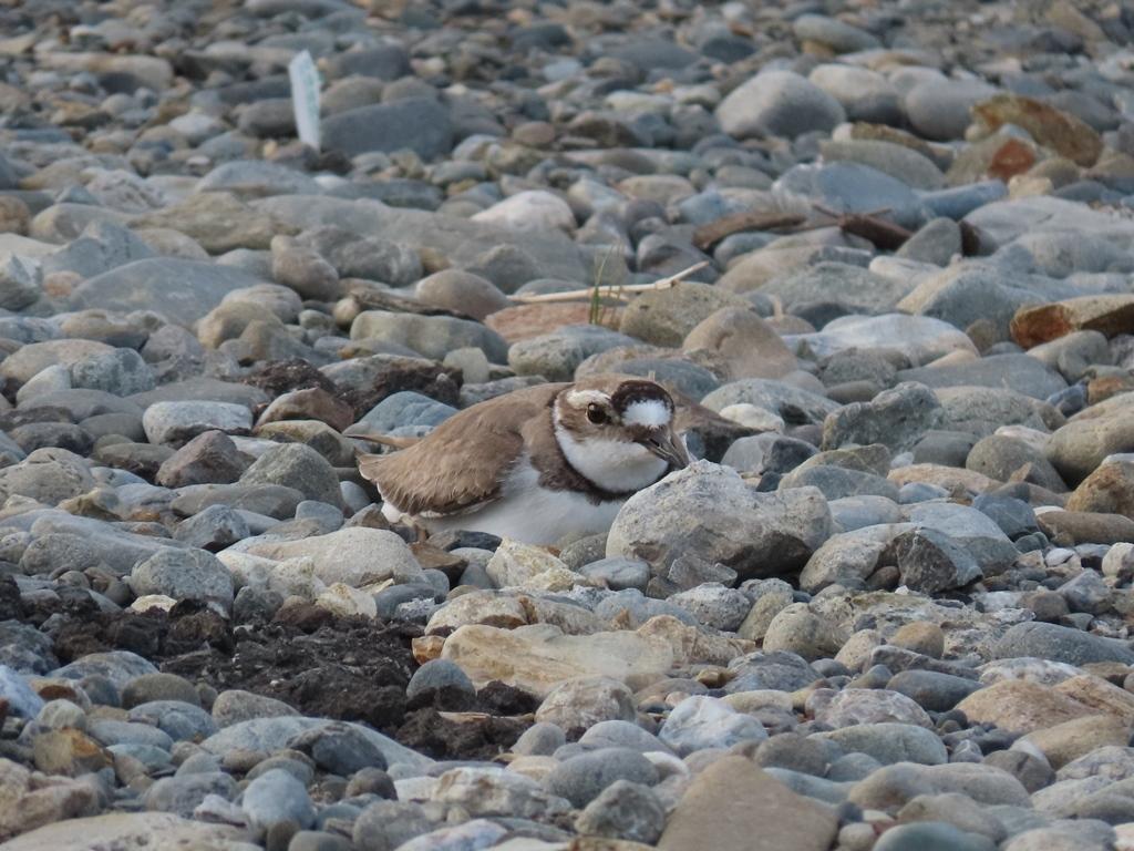 抱卵中の桑鳲千鳥(イカルチドリ)その2