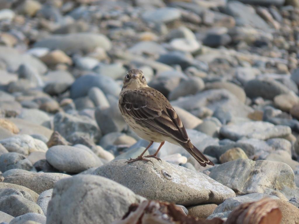 褐色がかった夏羽の田雲雀(タヒバリ)その1