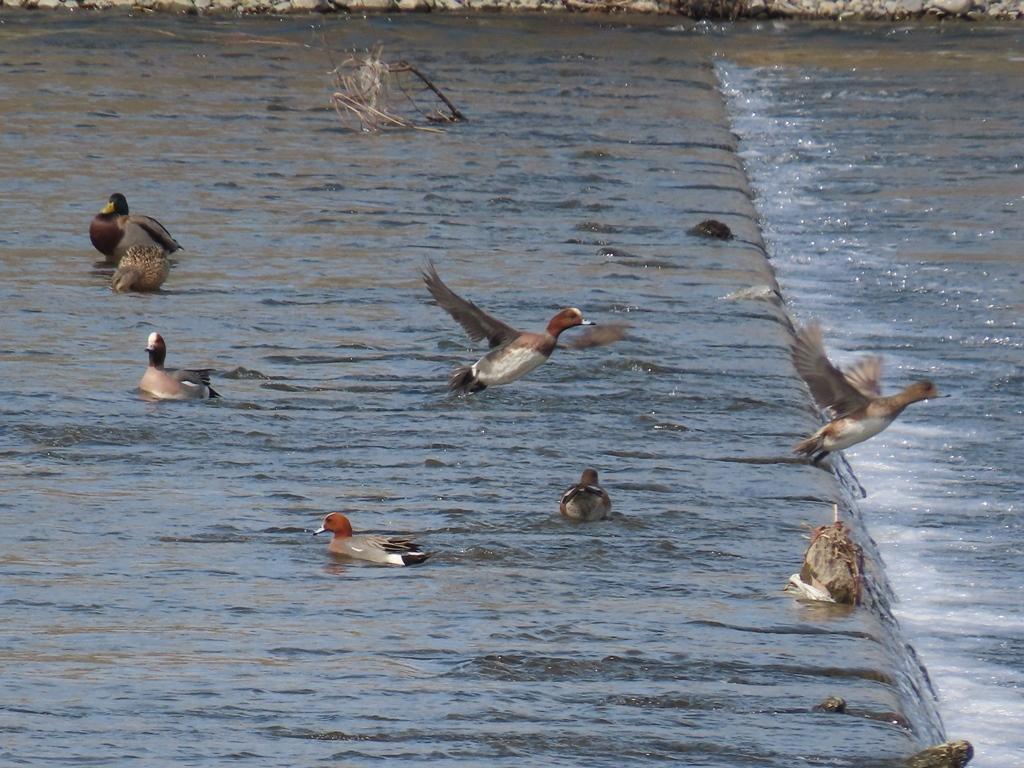 鳶(トビ)を警戒して飛び出した緋鳥鴨(ヒドリガモ)の群れ