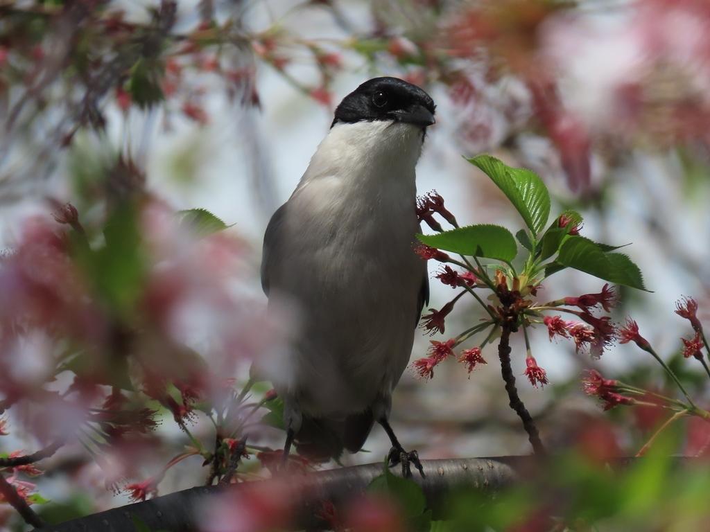 近所の桜に飛んできた尾長(オナガ)