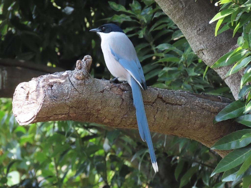 尾羽の先が白い尾長(オナガ)