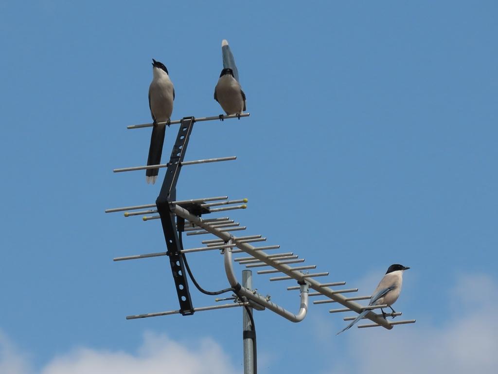 アンテナの上の尾長(オナガ)の見張り部隊