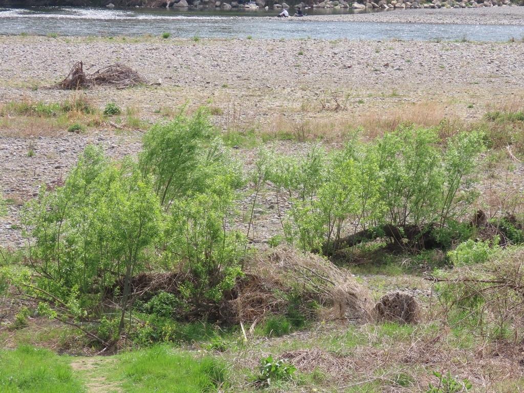 増水で倒れた木からの芽吹き
