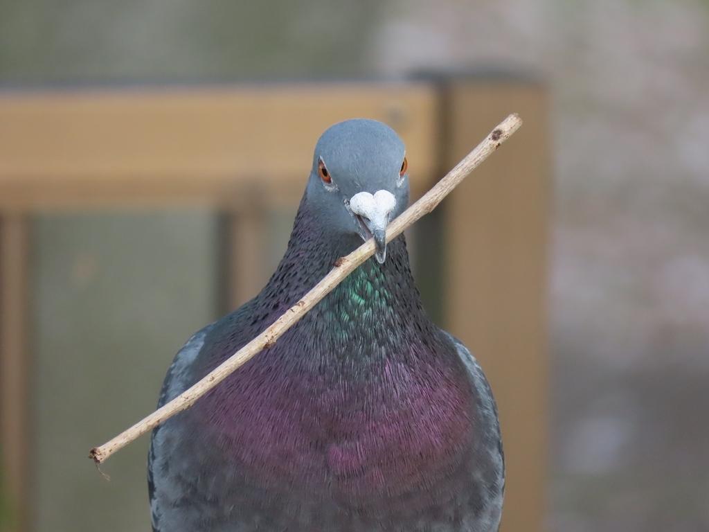 枝をくわえてアピールする土鳩(ドバト)