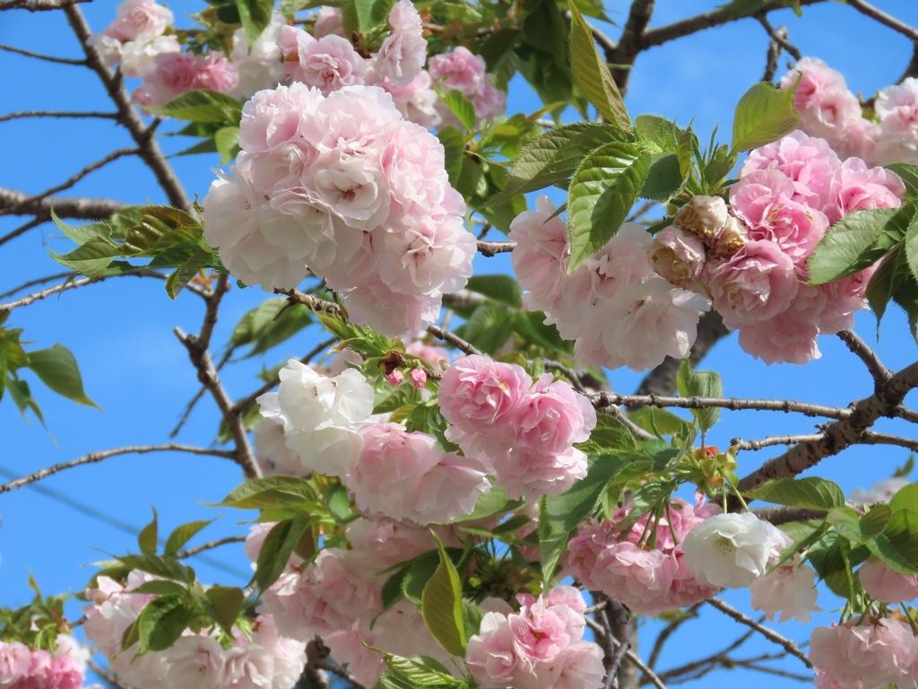 「白妙(シロタエ)」という名の桜