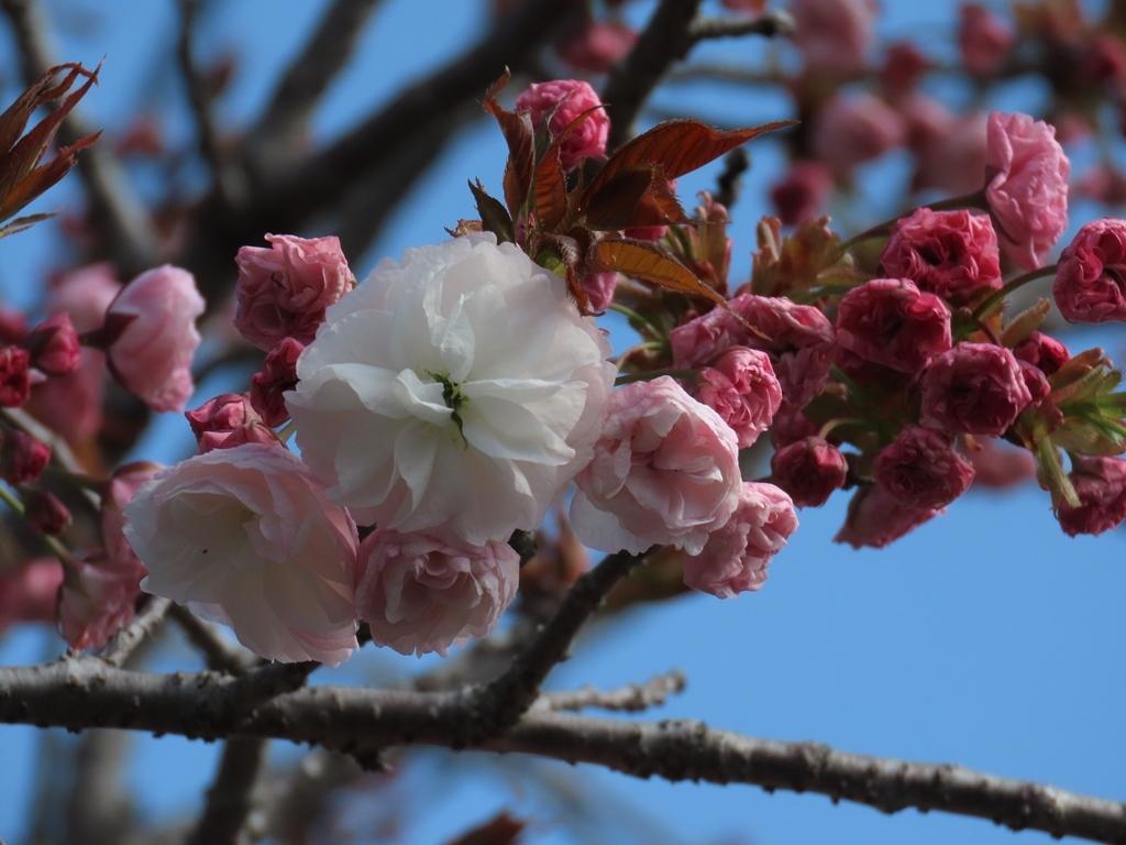 「普賢象(フゲンゾウ)」という名の桜