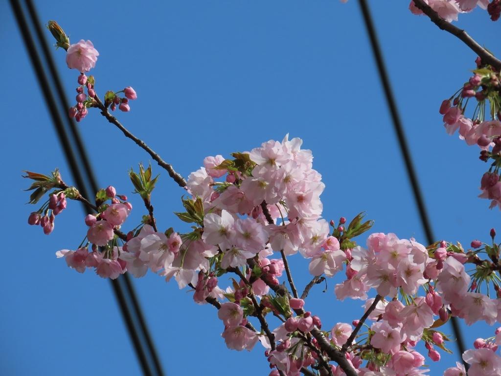 「朱雀(スザク)」という名の桜