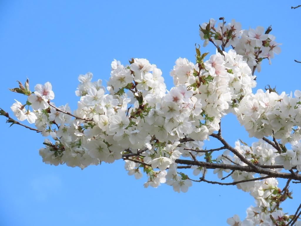 「白雪(シラユキ)」という名の桜