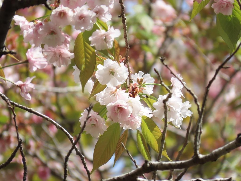 「二度桜(ニドザクラ)」という名の桜