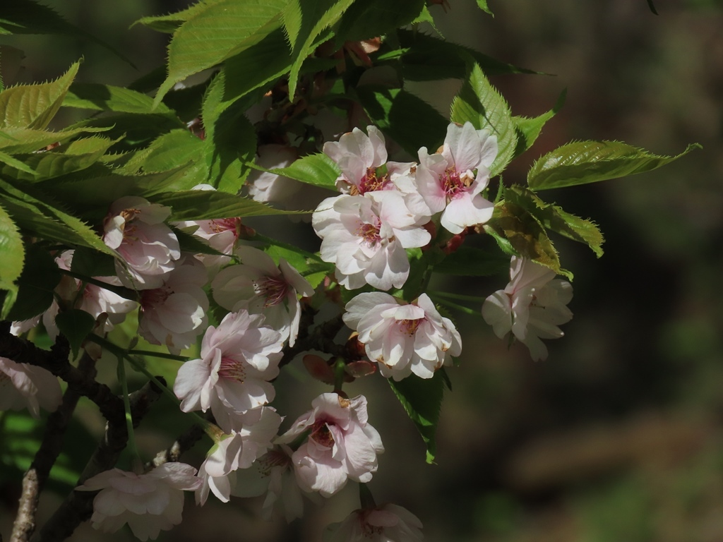 「御所御車返(ゴショミクルマガエシ)」という名の桜