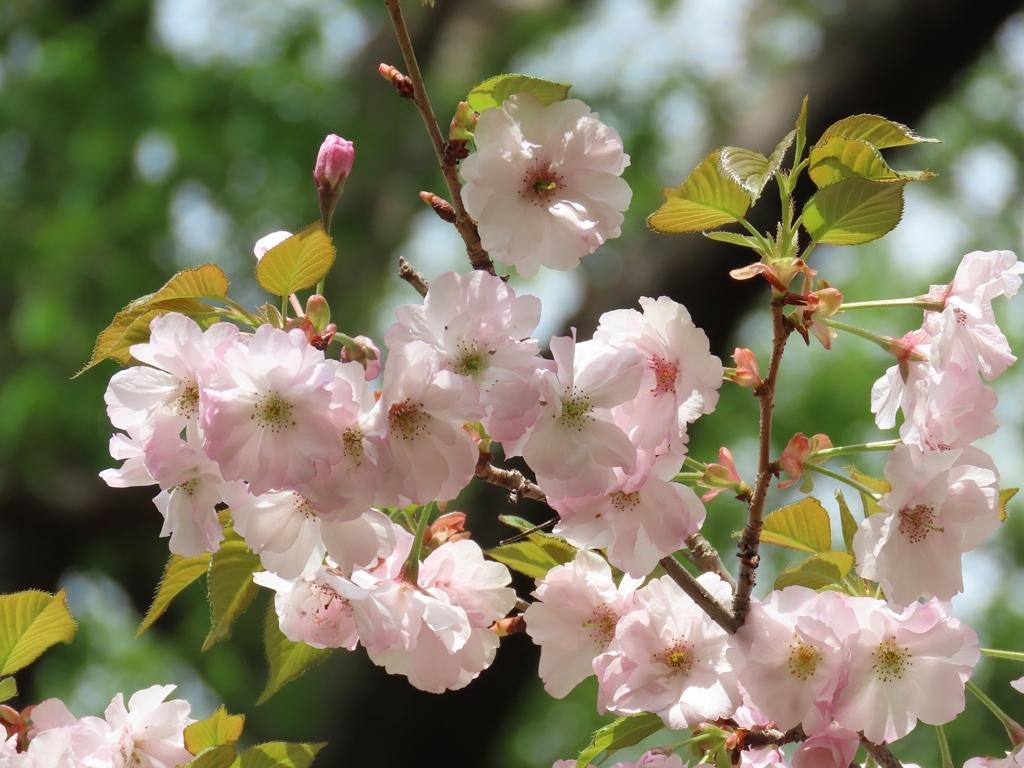 「はるか」という名の桜