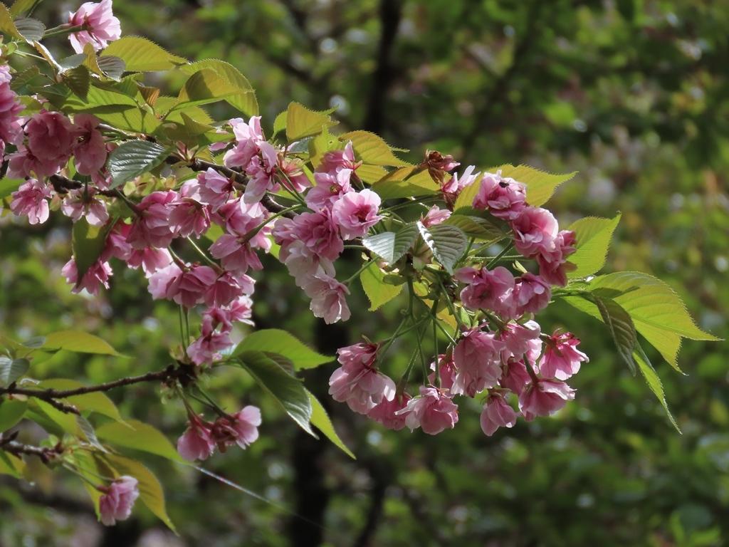 「笹部桜(ササベザクラ)」という名の桜
