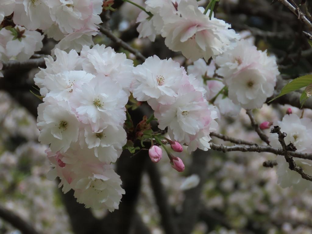 「三島の水晶桜(スイショウザクラ)」という名の桜