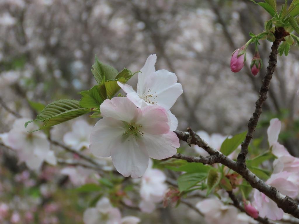 「三島の野々宮(ノノミヤ)」という名の桜