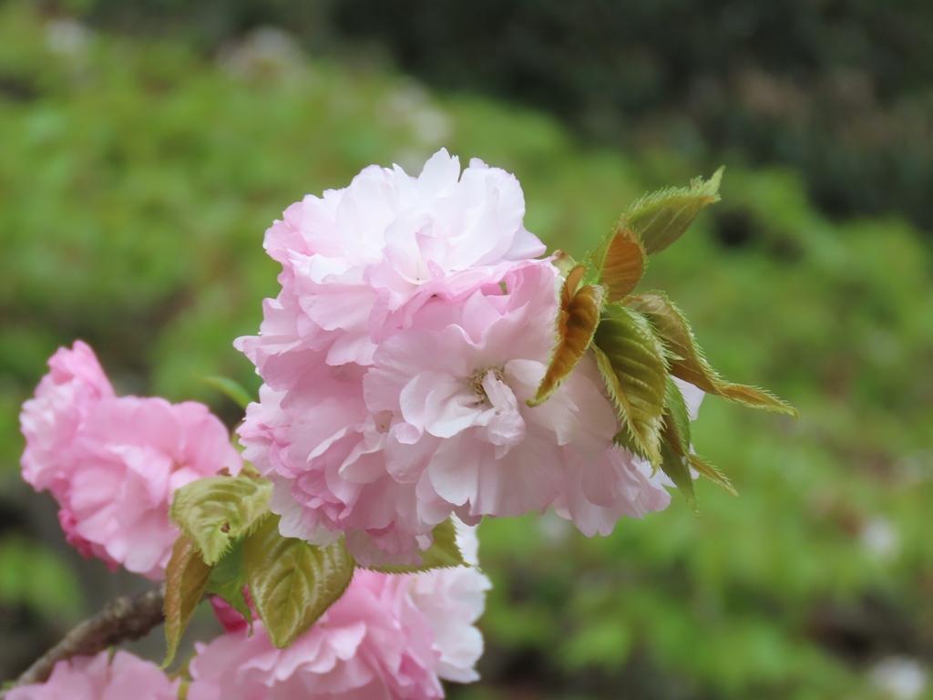 「白山大手毬(ハクサンオオデマリ)」という名の桜