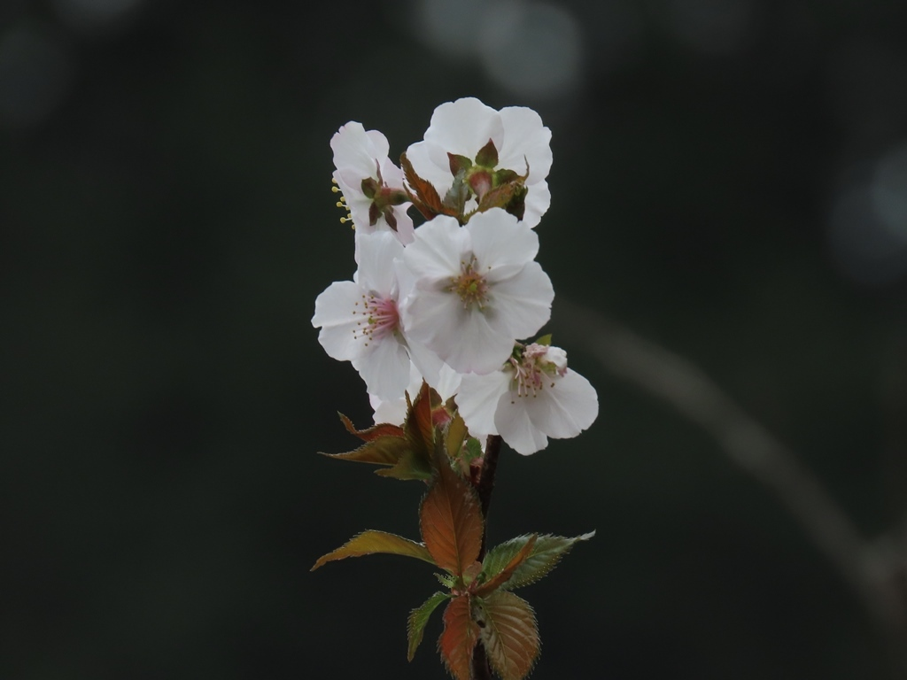 「川崎の飴玉(アメダマ)」という名の桜