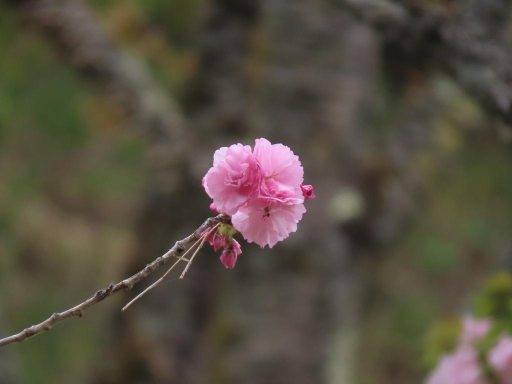 「紅提灯(ベニチョウチン)」という名の桜